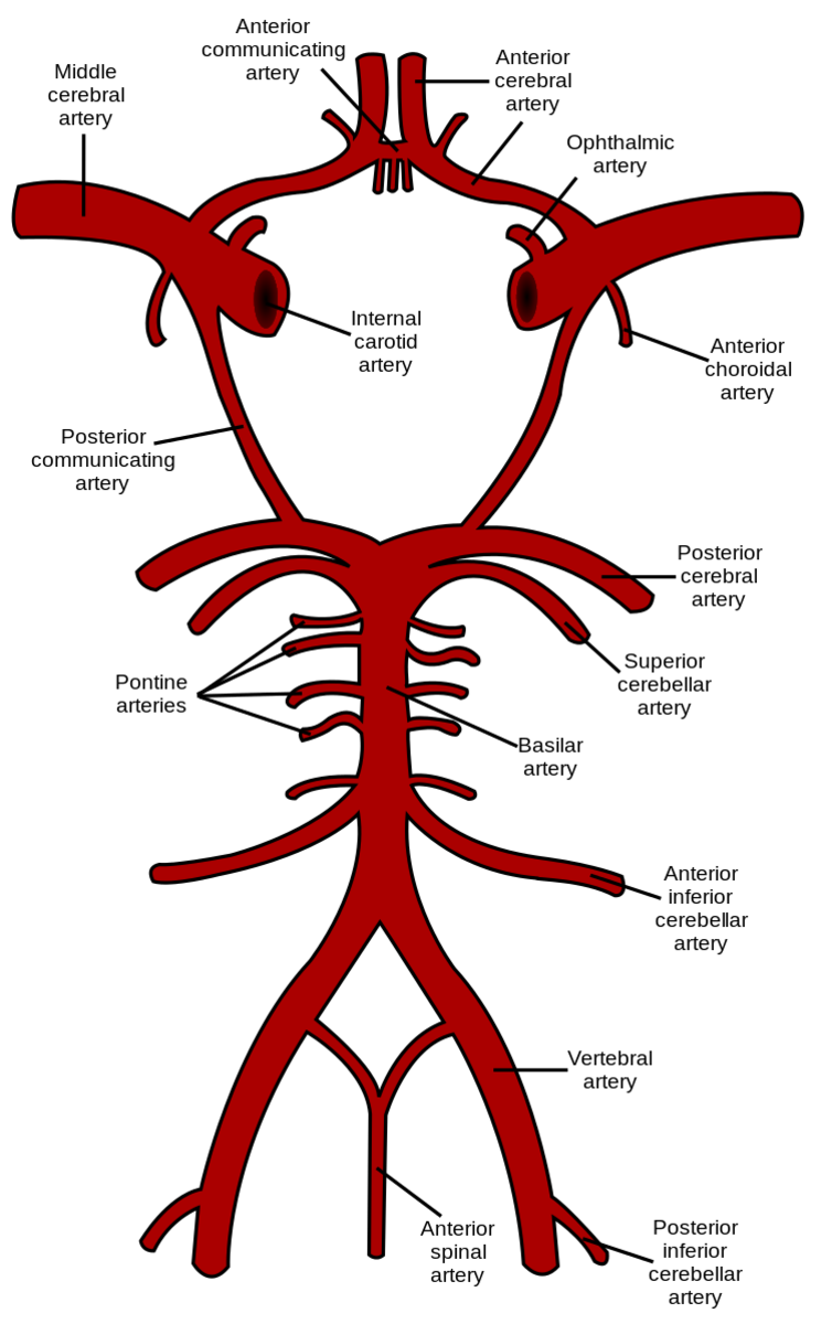 Most of the arteries in this illustration are present in a right and a left form. Only one of each pair is labelled. The circle of Willis is the roughly circular section at the top of the illustration.