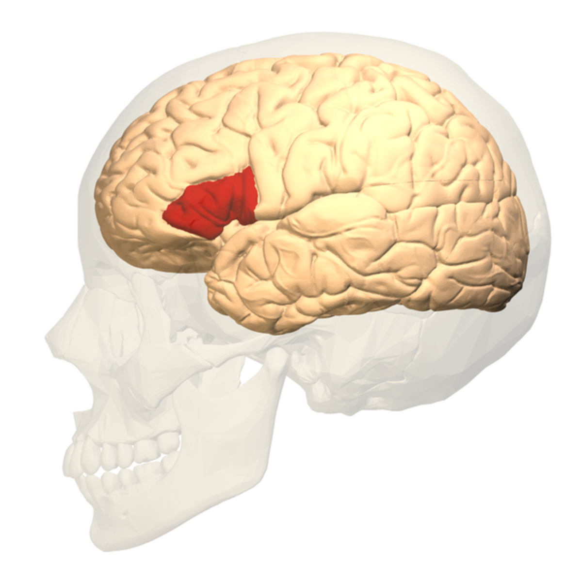 Broca's area (red) is located in the frontal lobe of the cerebrum (yellow), which is the largest part of the brain. The cerebral cortex is the surface layer of the cerebrum.