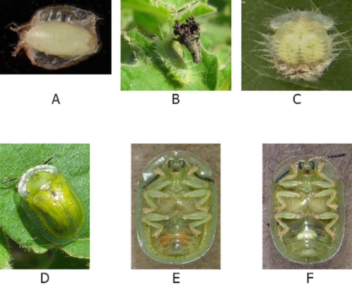 South American leaf beetle, Gratiana boliviana