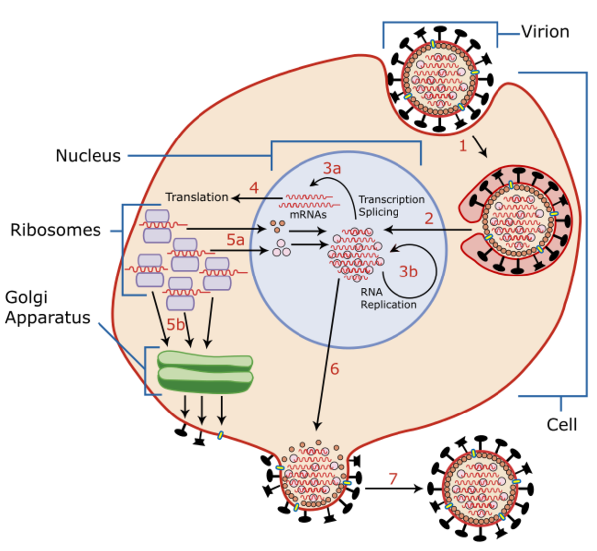 A virion is an individual virus. Its genetic material is either RNA or DNA. Both the dengue and the Zika virus contain RNA.