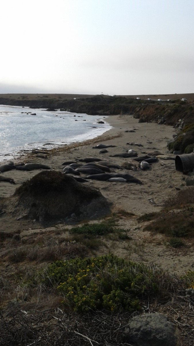 Elephant Seals on the beach outside of San Simeon, California.  The real Monsters of Piedras Blancas.