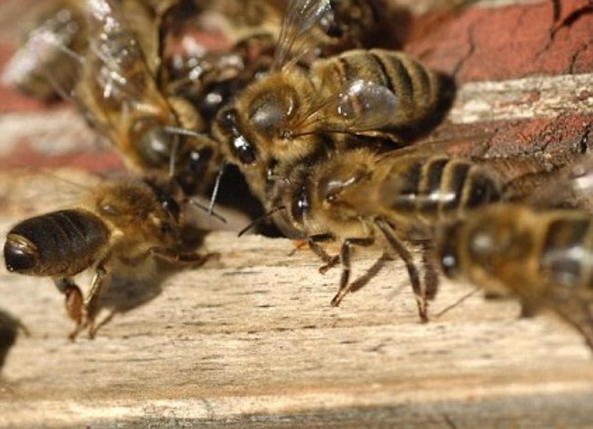 The British Black Bee (apis mellifera mellifera)