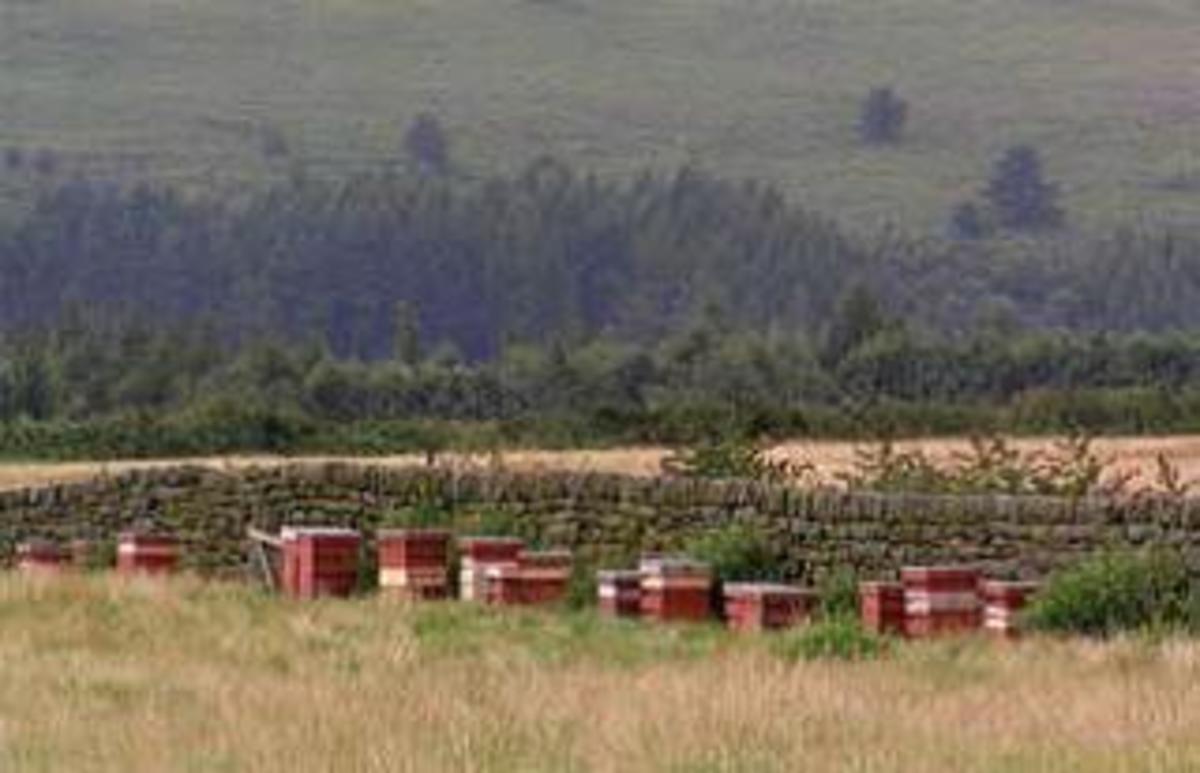 Beehives on heathered moorlands.