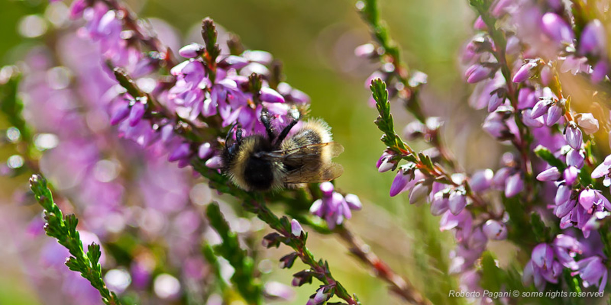 Bee on heather (Roberto Pagani - Creative Commons Licence)