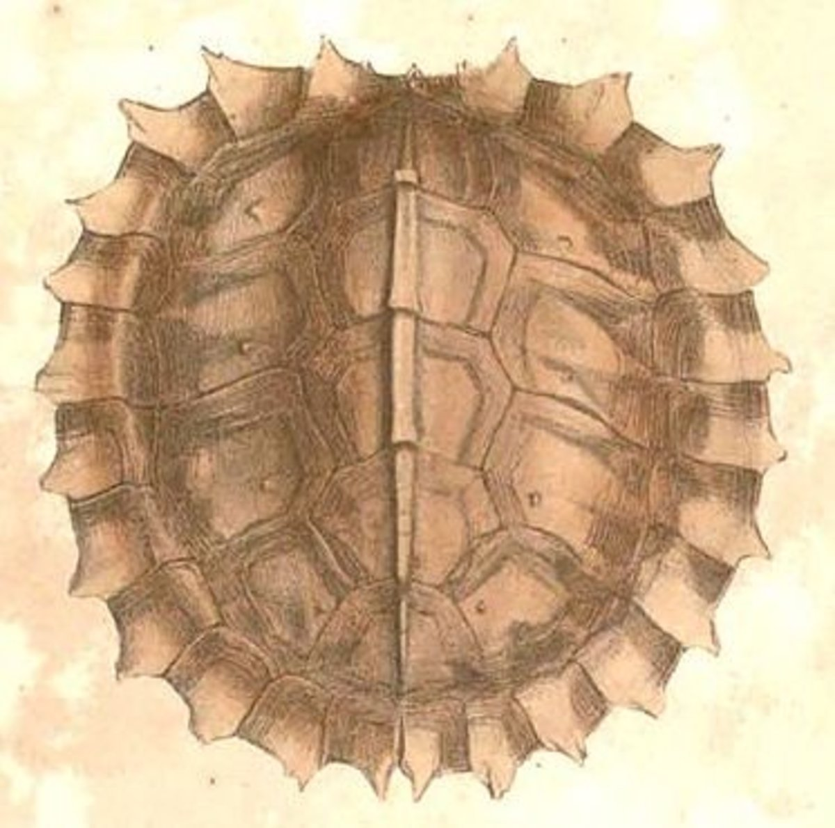 drawing of the shell of spiny turtle