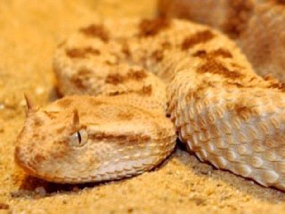 Saharan horned viper, Cerastes cerastes
