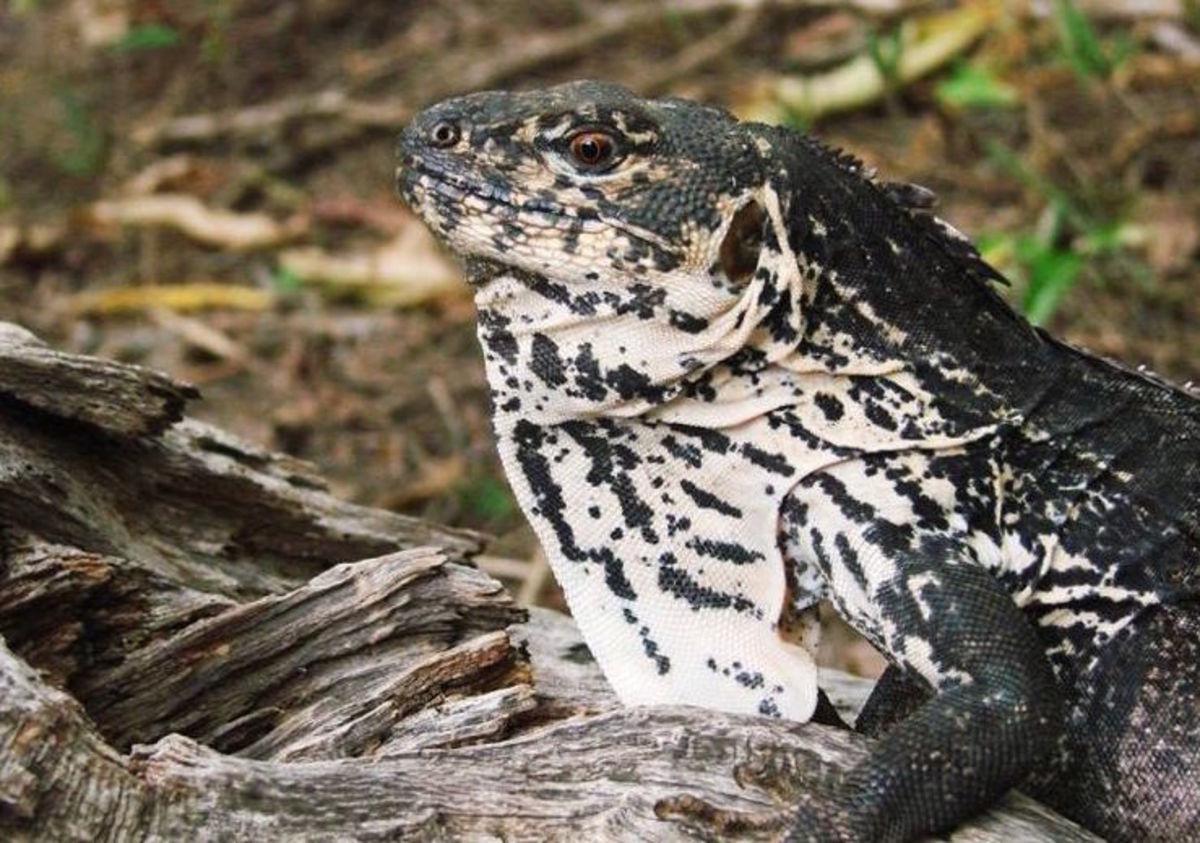 Motagua spiny-tailed iguana, Ctenosaura palearis