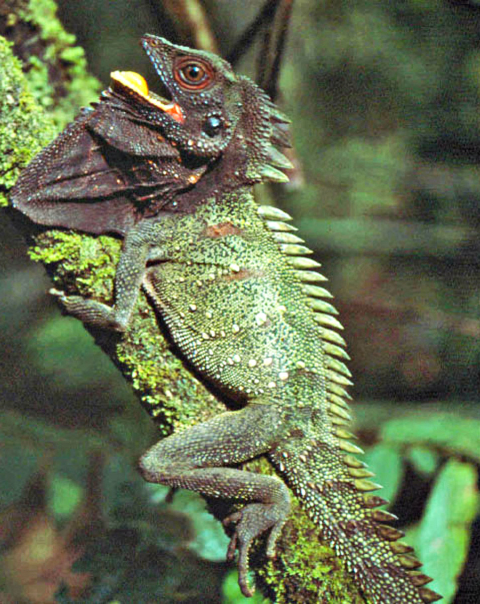 Crowned Forest Dragon, Hypsilurus dilophus
