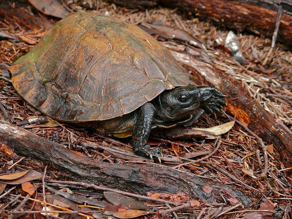 Spiny turtle, Heosemys spinosa