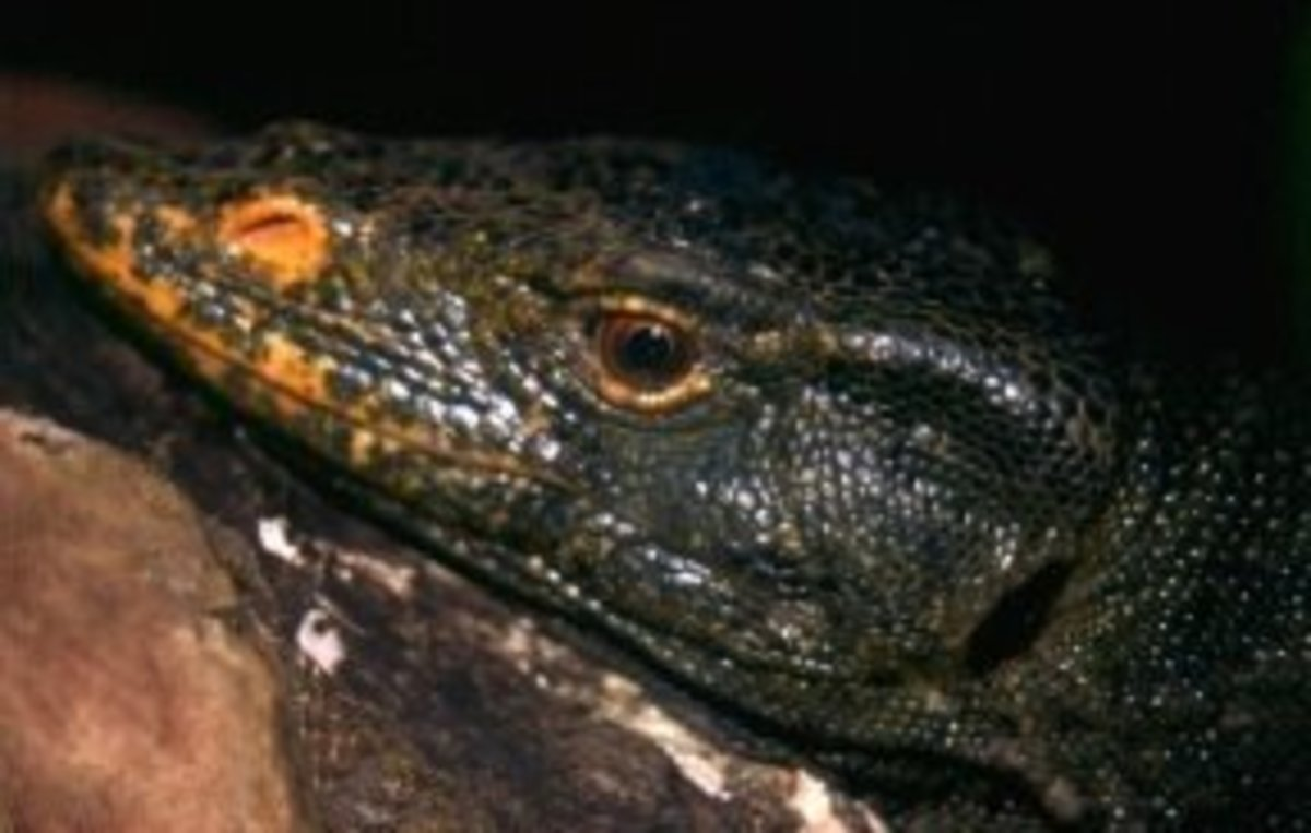 Gray's monitor, Varanus olivaceus