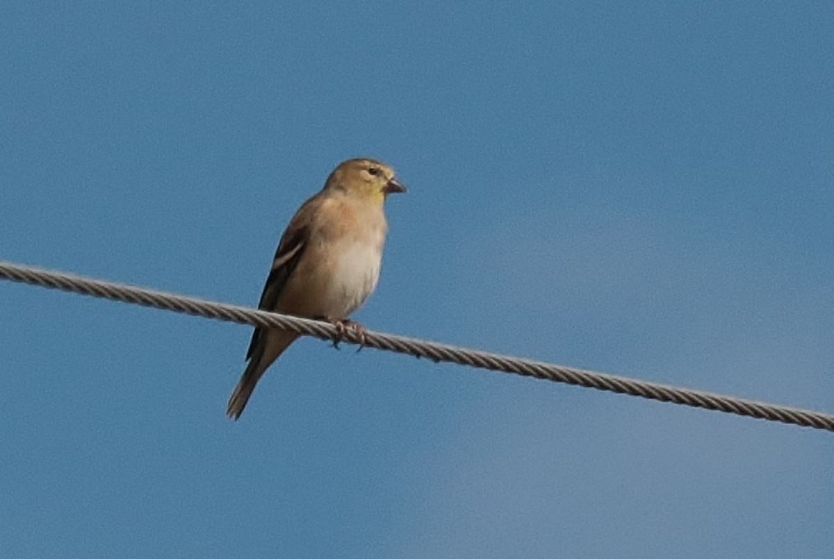 A winter Goldfinch.  I will have them here too. Found at Kern River Preserve