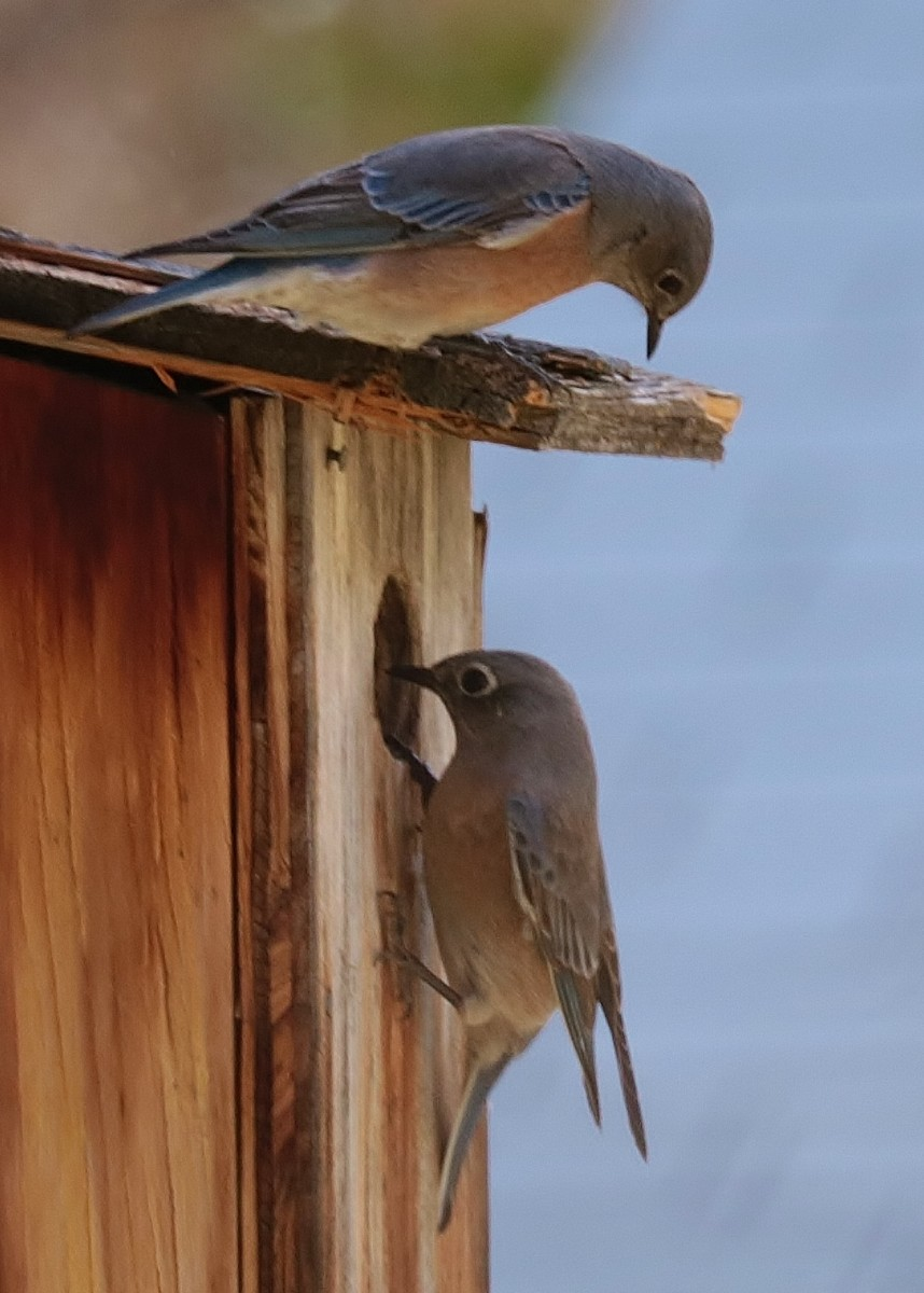 Western Bluebirds at Kern River Preserve