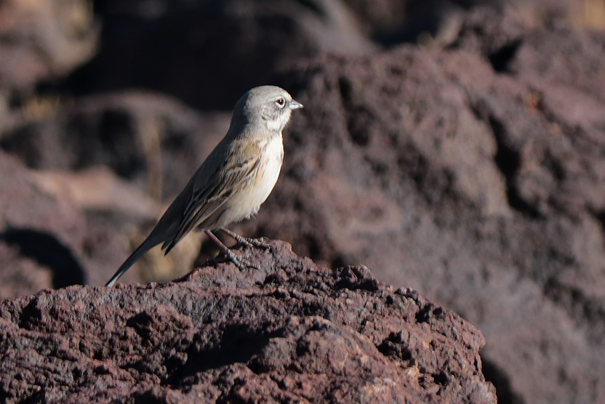 Sage Sparrow at Fossil Falls