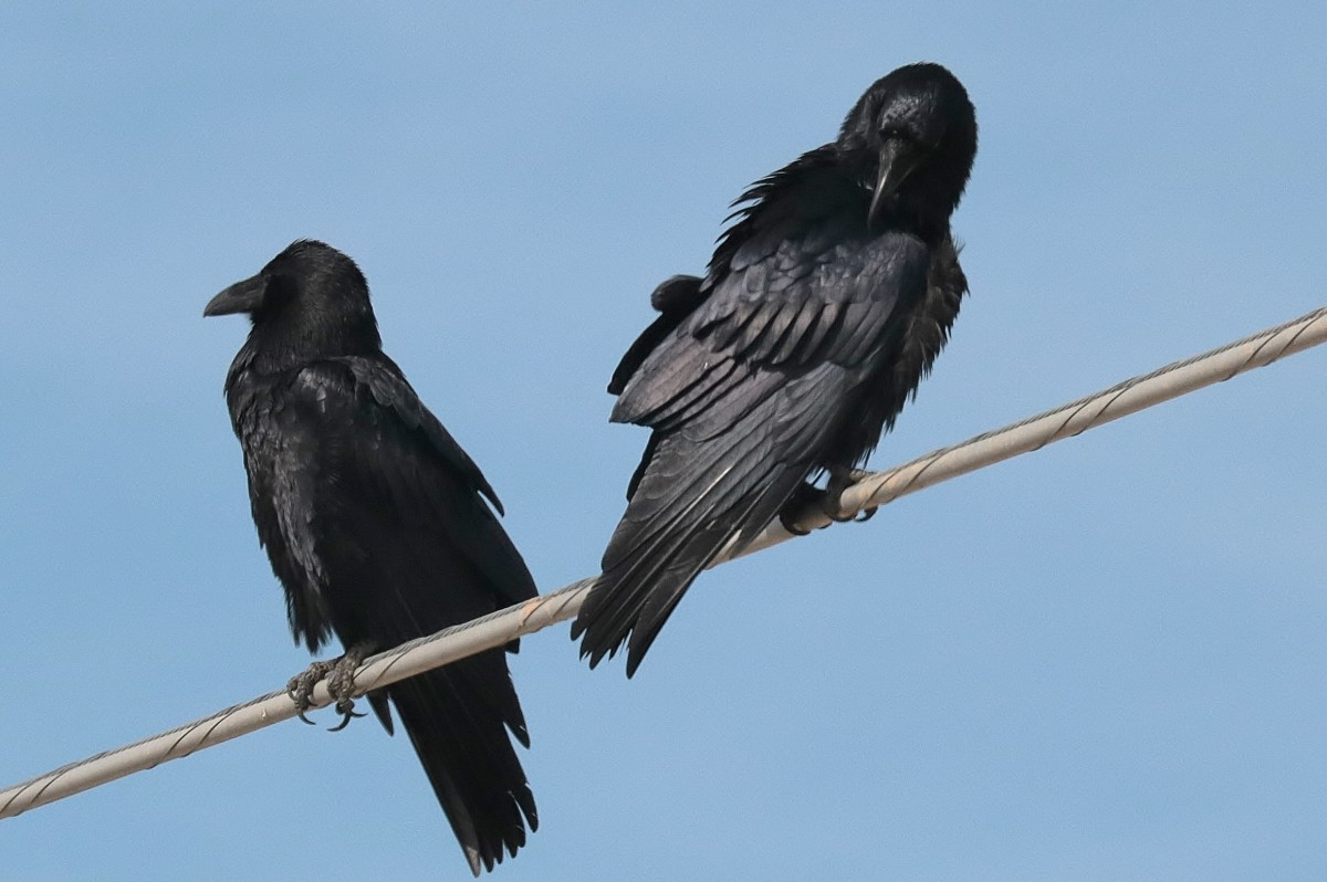 Common Ravens, they take the place of crows here. These were local in Ridgecrest, Ca.