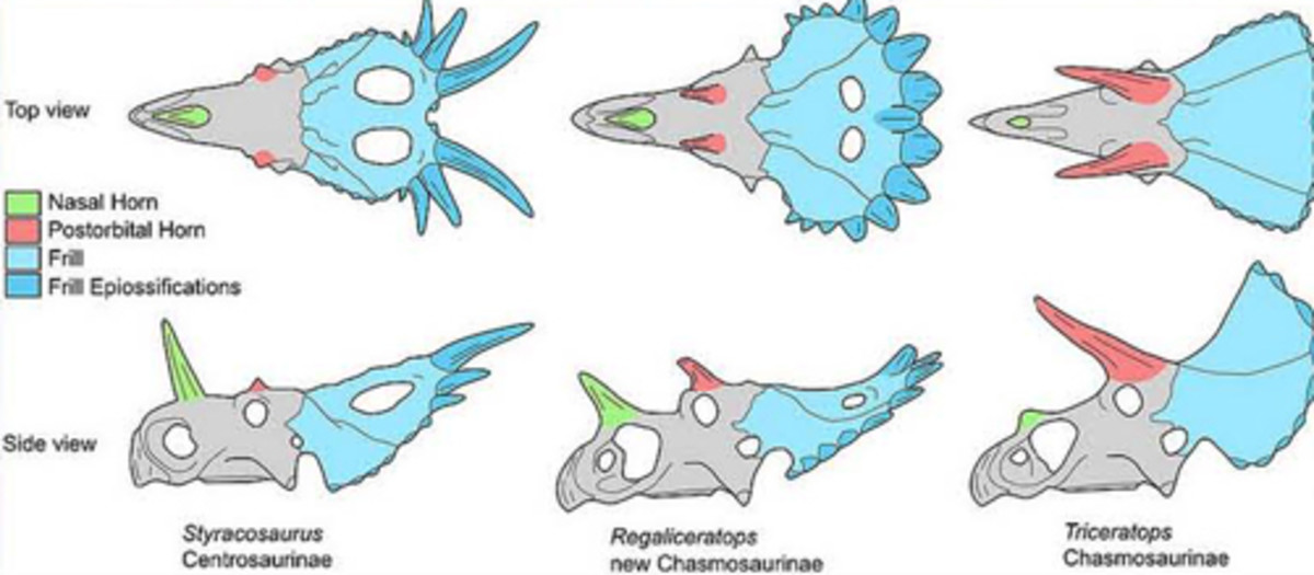 Centrosaurine-Chasmosaurine comparison.