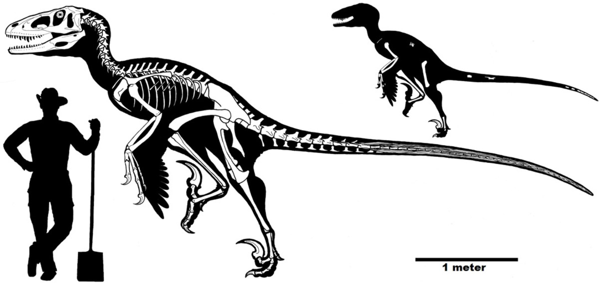 Known remains and skeletal reconstruction of Dakotaraptor by Robert DePalma.
