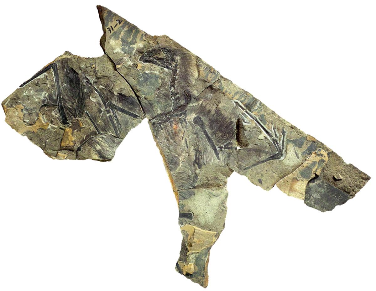 Partial Yi original specimen.