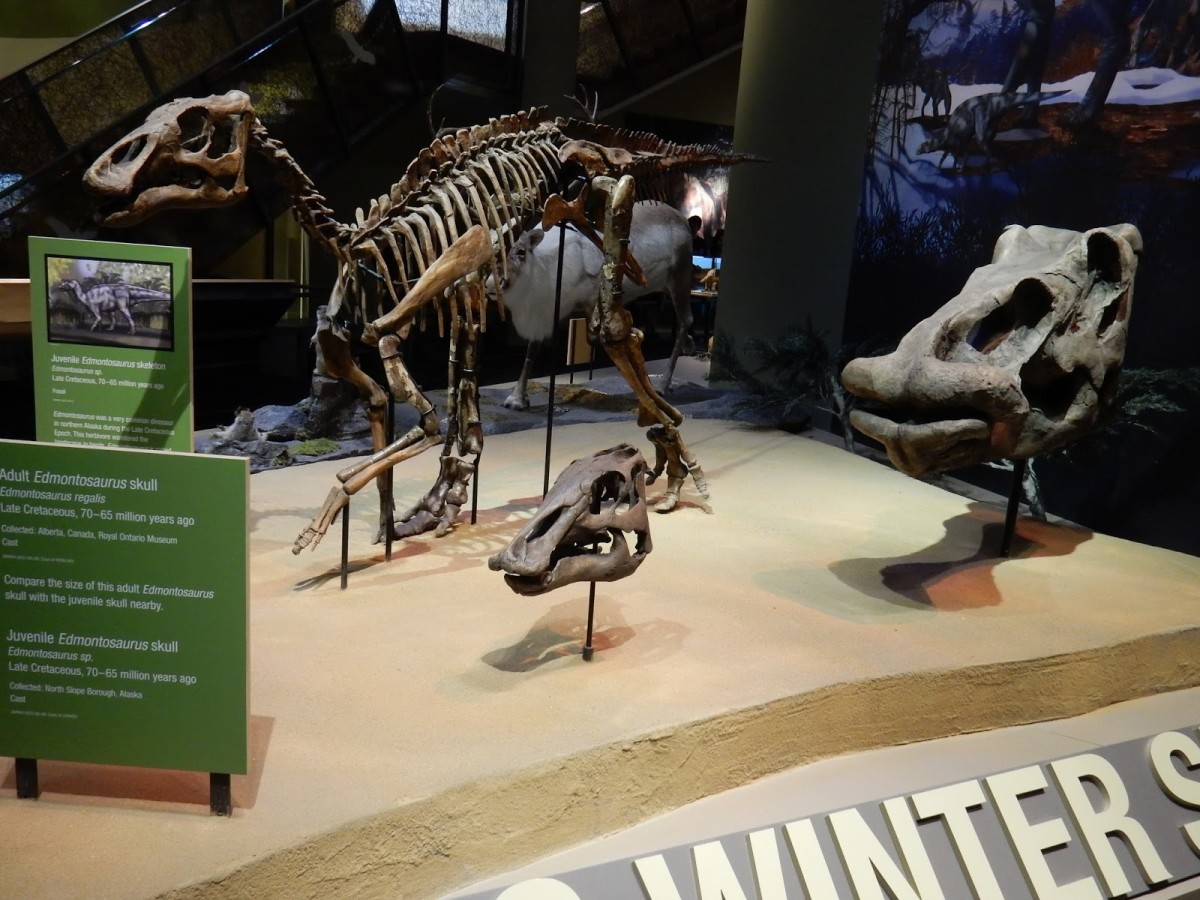 Skeleton of a juvenile Ugrunaaluk, the north-most known dinosaur, at the Perot Museum of Nature and Science in Dallas.