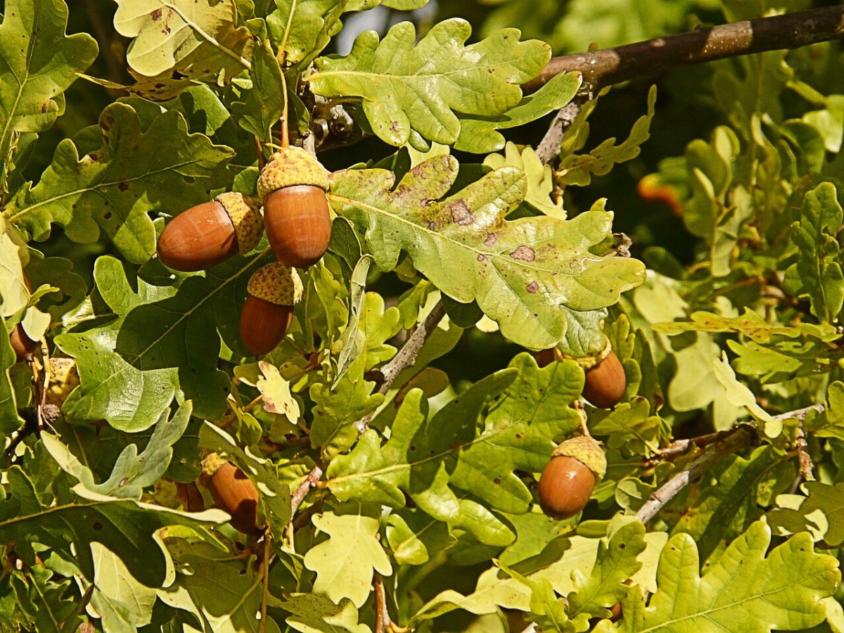 The front end of acorn worms reminds some people of the fruits of an oak tree.