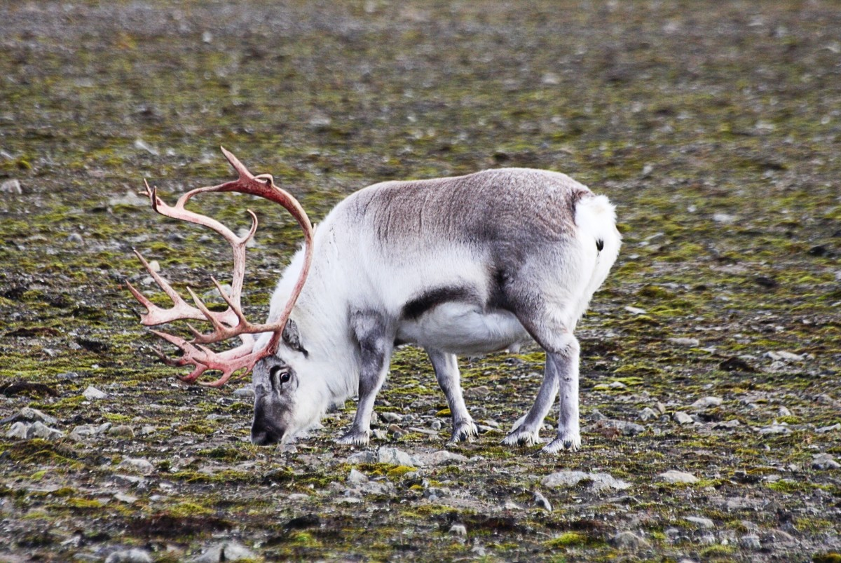 The reindeer has a variable appearance depending on its colour, body weight and the presence, absence, or developmental stage of the antlers.