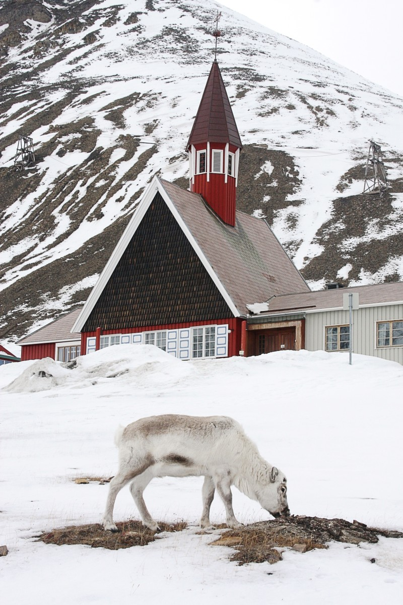A Longyearbyen church and reindeer