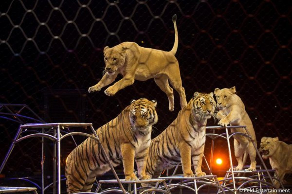 Tigers Max and Kashmere look pretty  while  the lionesses jump over them. Amber, Mali, Princess and Goldie love to jump and play!