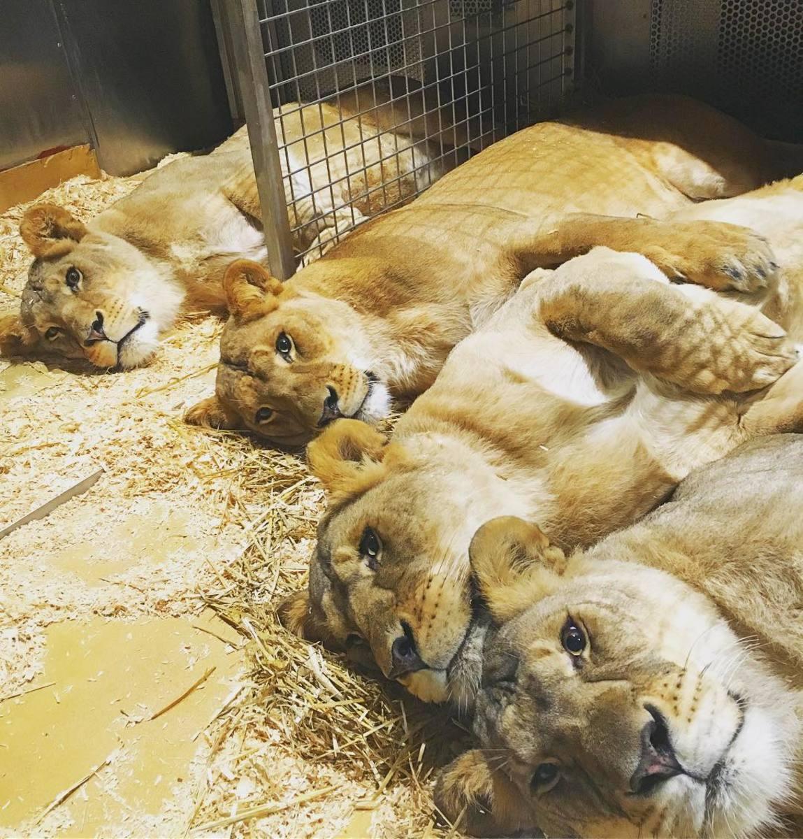 Amber, Mali, Princess and Goldie say goodnight!