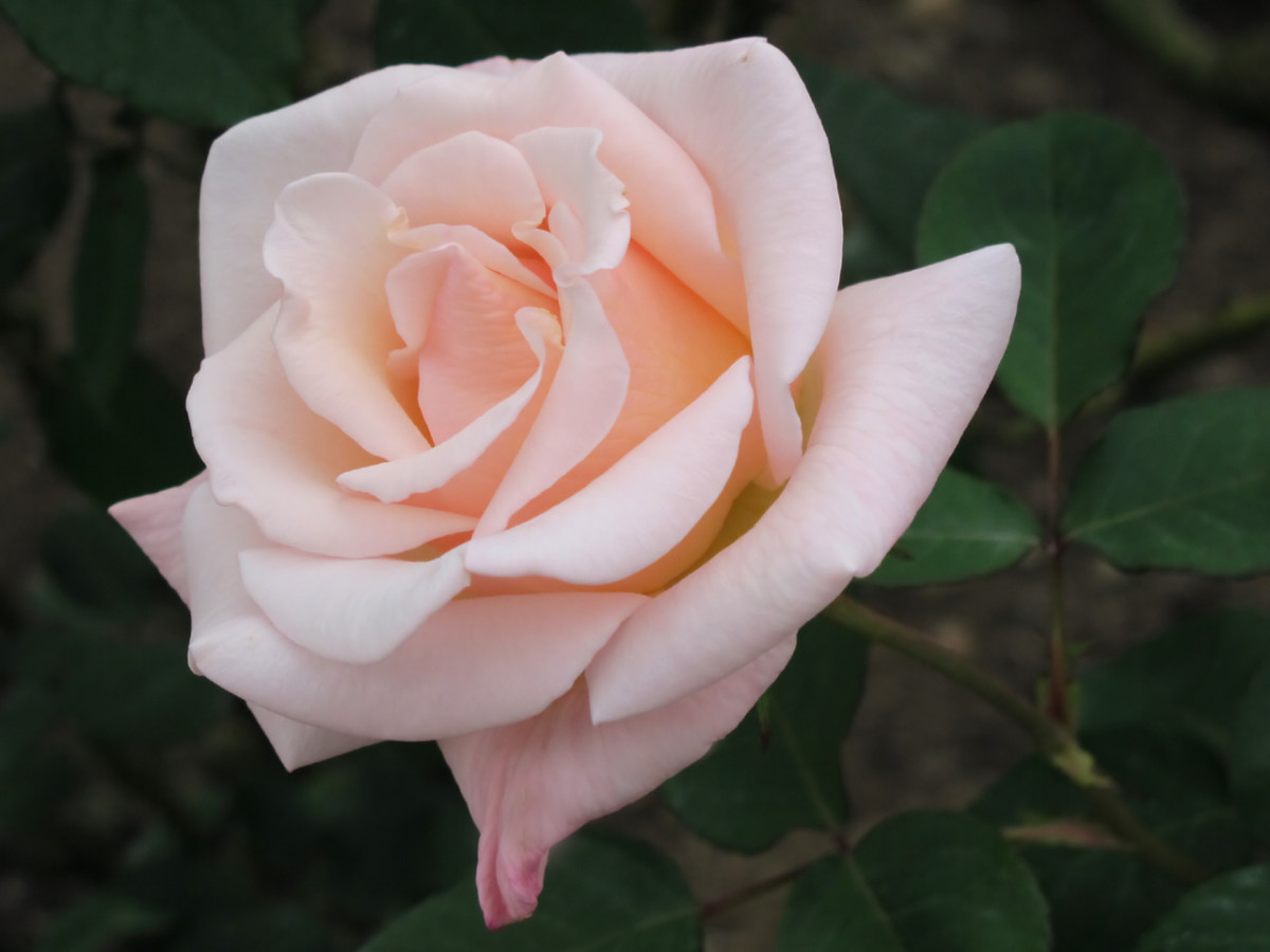 The name of this rose was inspired by the story of Madame Butterfly.