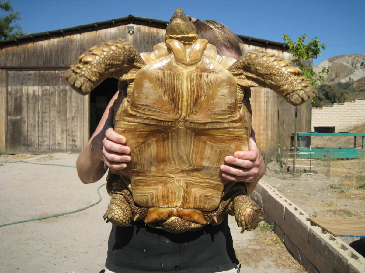 The African Sulcata Tortoise Owlcation