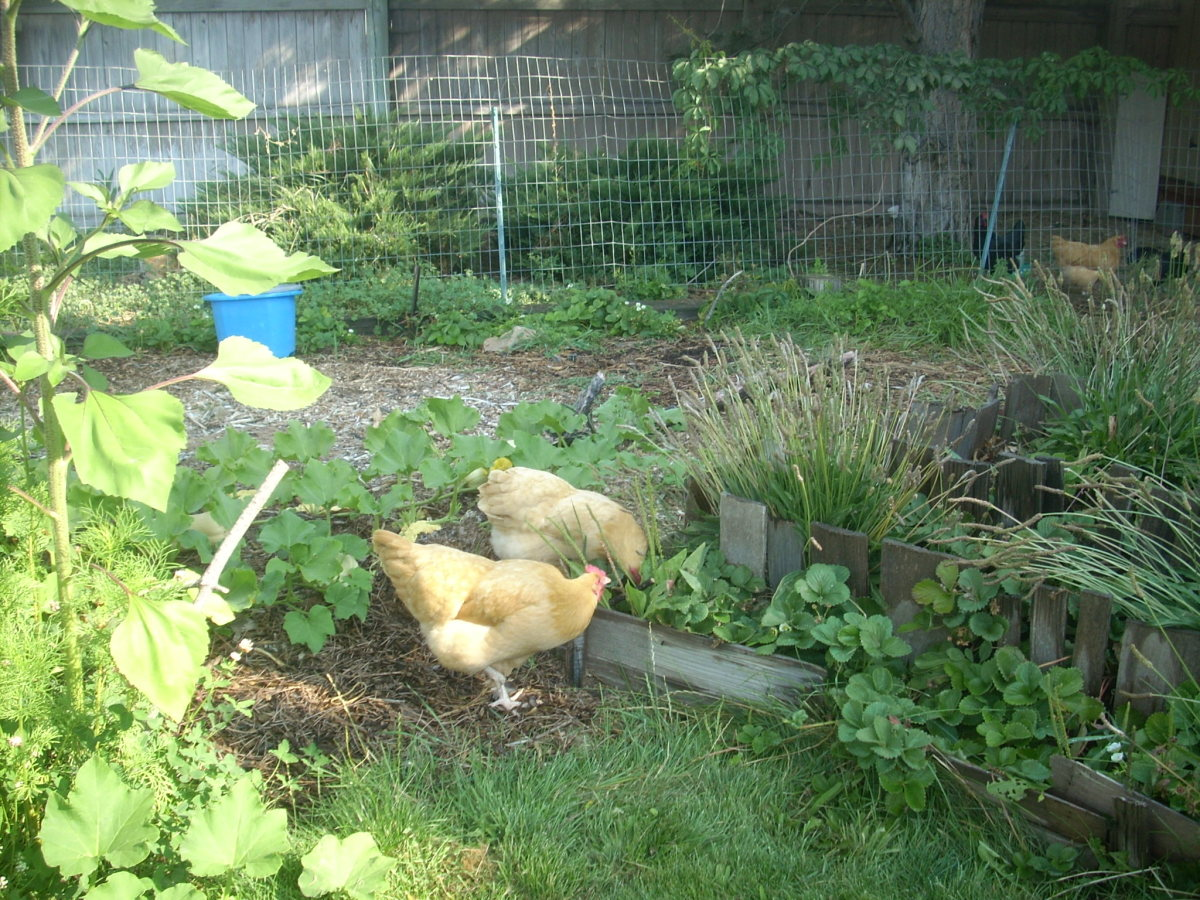Chickens enjoying my strawberries.