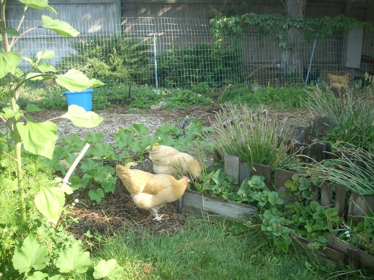 Chickens enjoying my strawberries.
