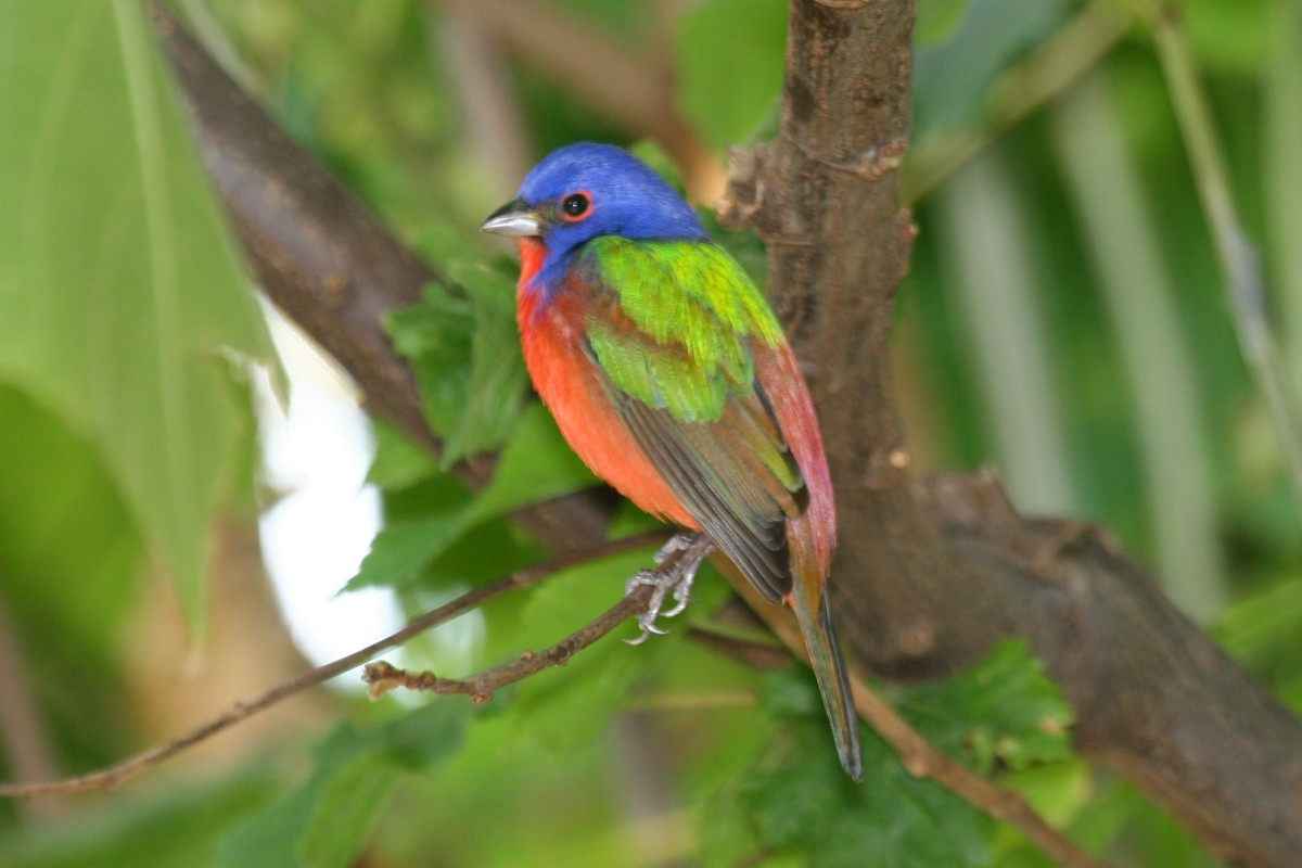 The bright primary colors that comprise the painted bunting's plumage make it a desirable guest at backyard bird-feeders in the southern U.S.