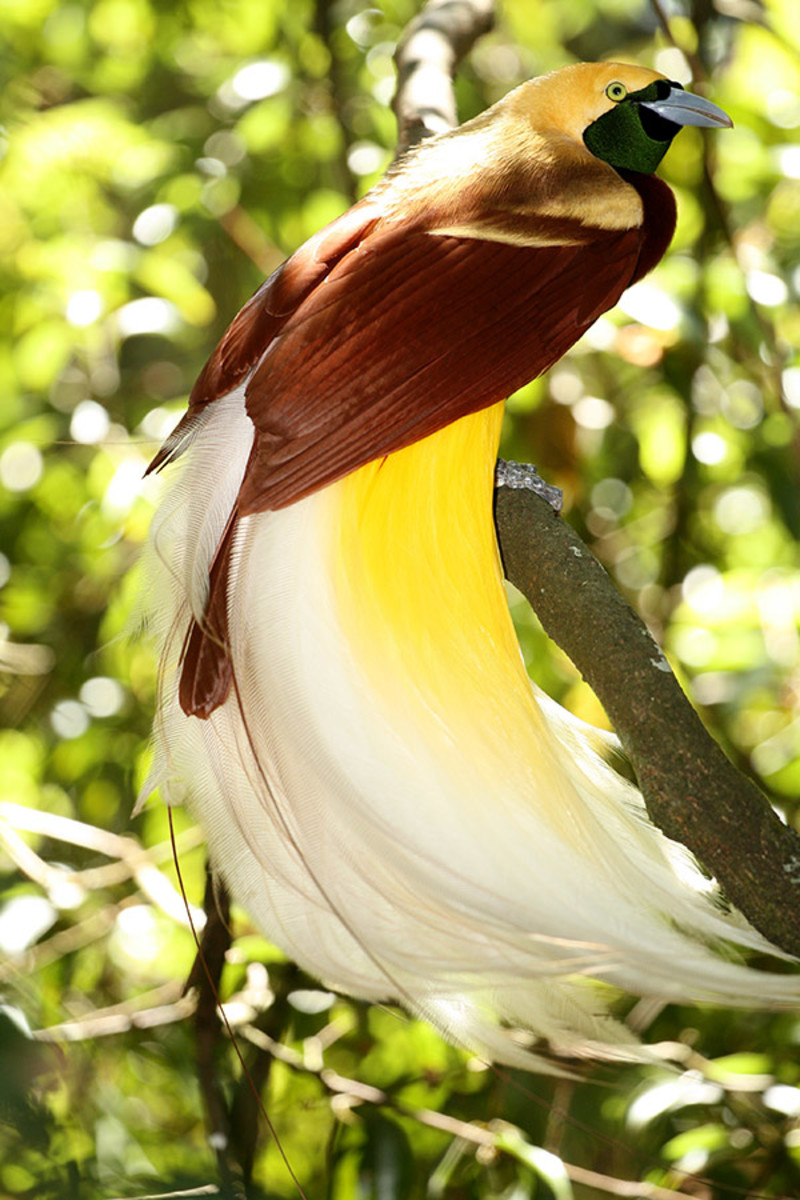 The lesser bird-of-paradise is beautiful all over, but many point to its shimmering, emerald throat as the highlight of its feathering.