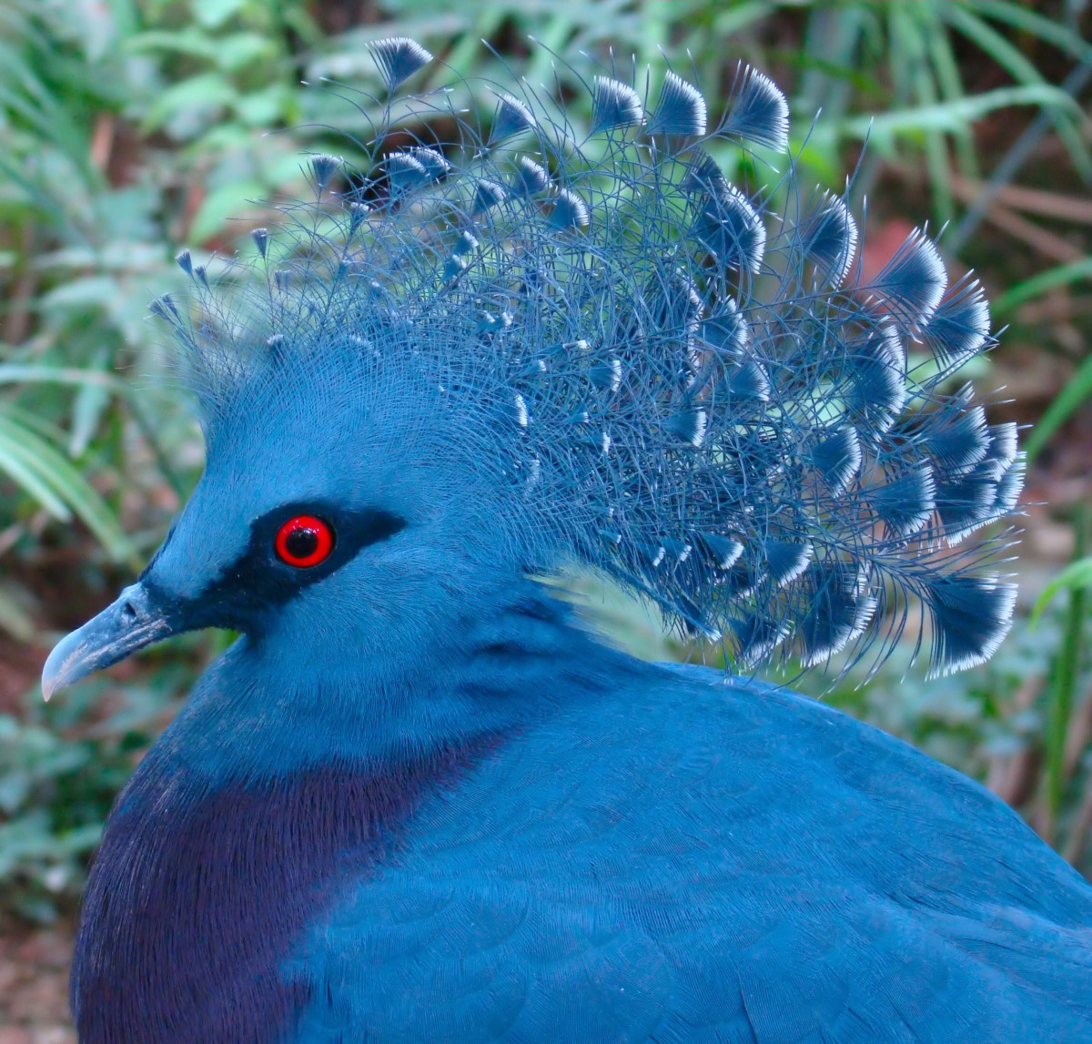 The Victoria crowned pigeon's bright blue feathers and tiara-like crest render it far more regal than its city-dwelling cousin, the rock dove.