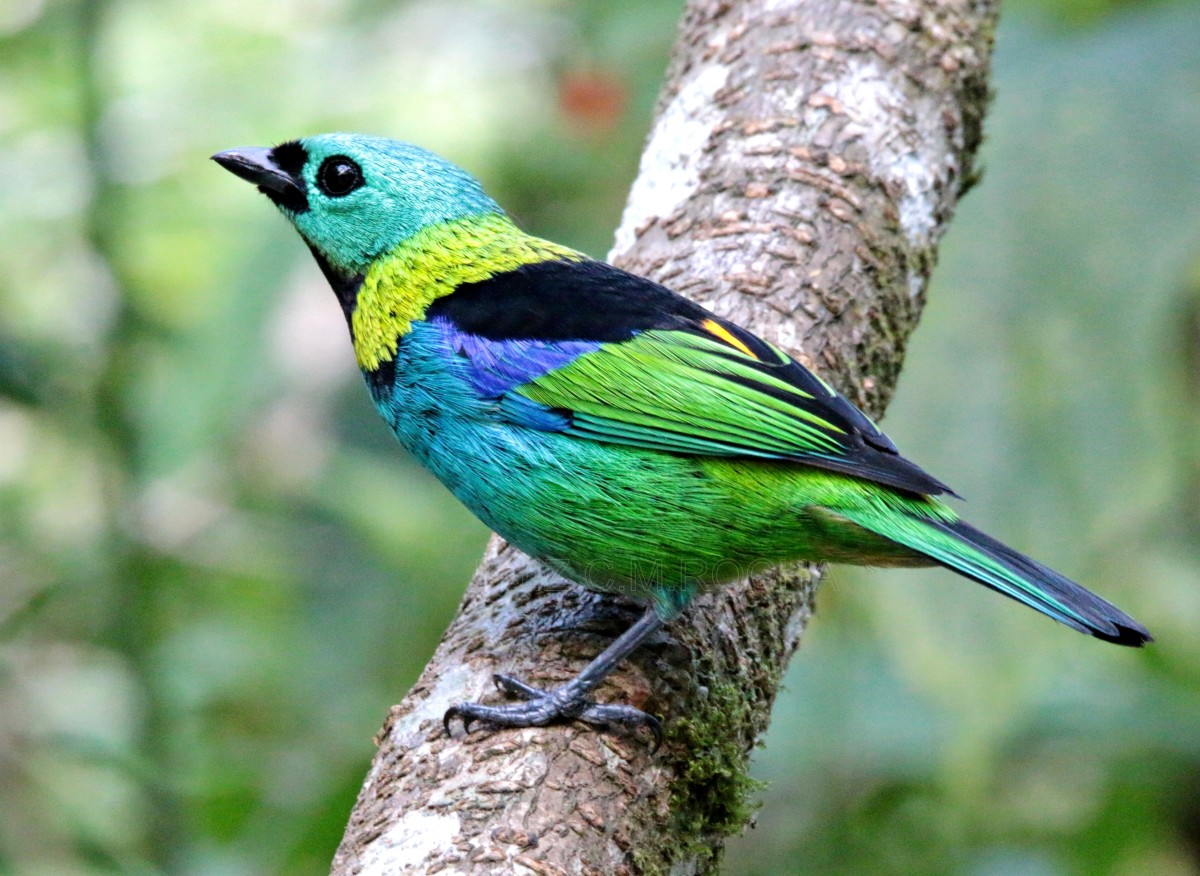 Green-headed tanagers' plumage appears almost fluorescent, featuring a range of blue-greens, sea foams, and turquoises.