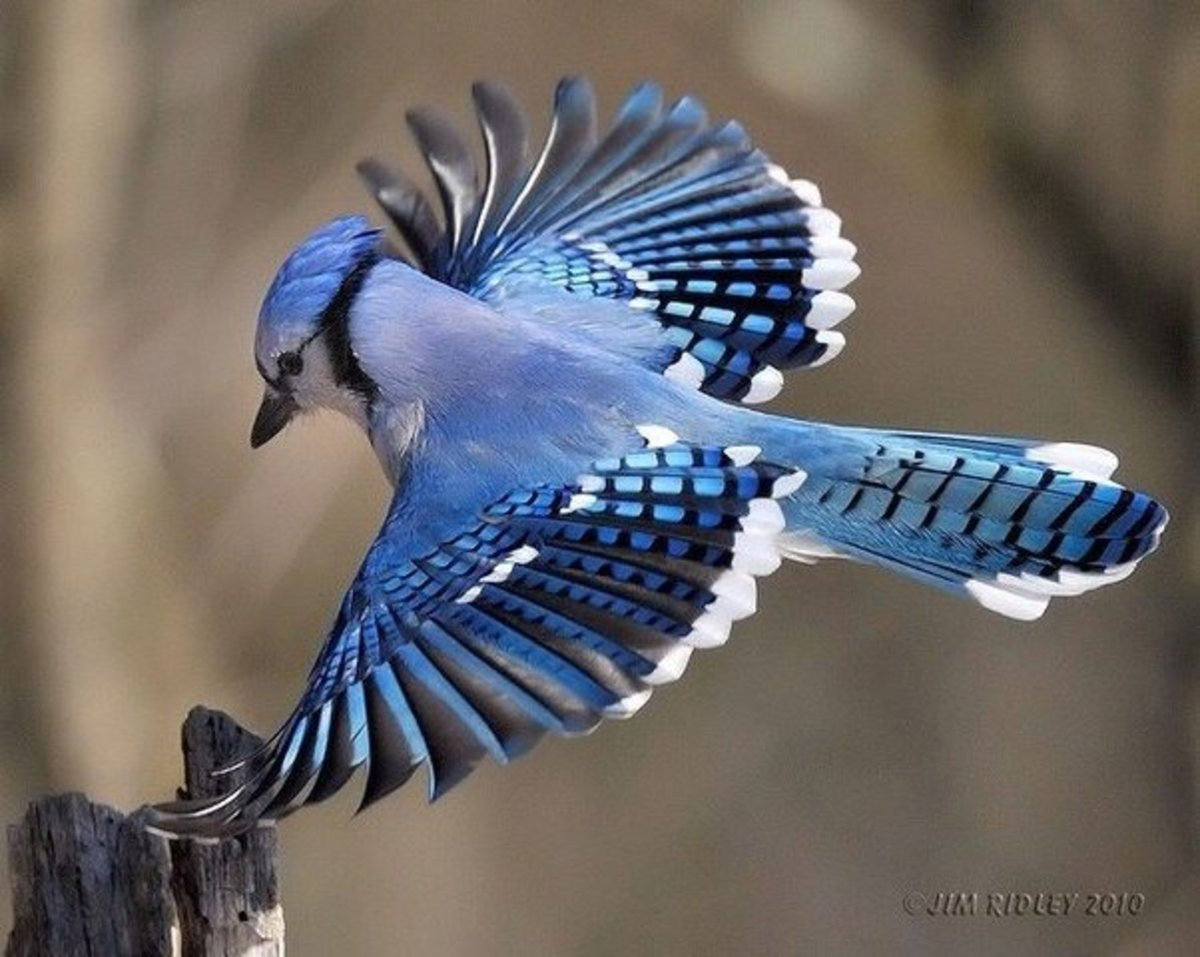 Bluejays are among the most recognizable of America's corvids.