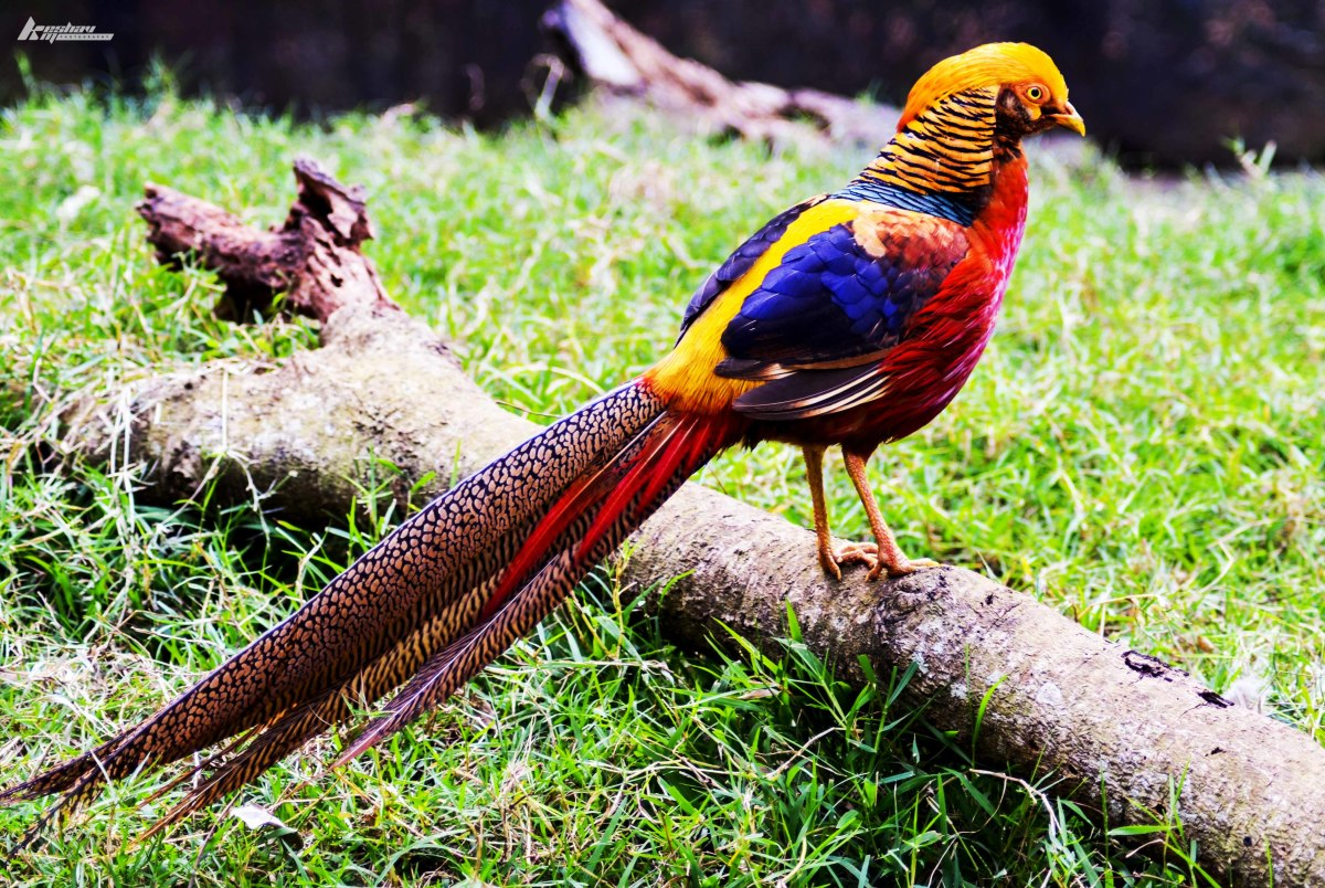 """Sporting a veritable cornucopia of color, the golden pheasant's plumage is punctuated with a slicked-back, blond """"hairdo."""""""