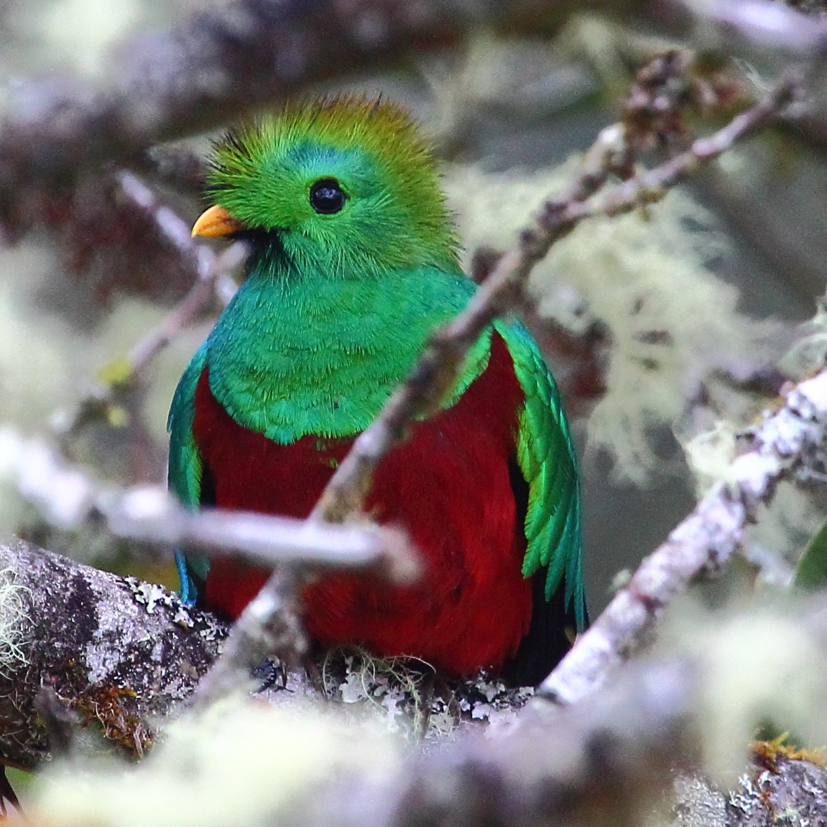 Quetzals display beautiful reds and greens in their iridescent plumage.