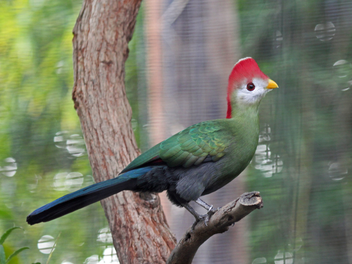 The red-crested turaco sports a punk-rock look with its trademark red mohawk.