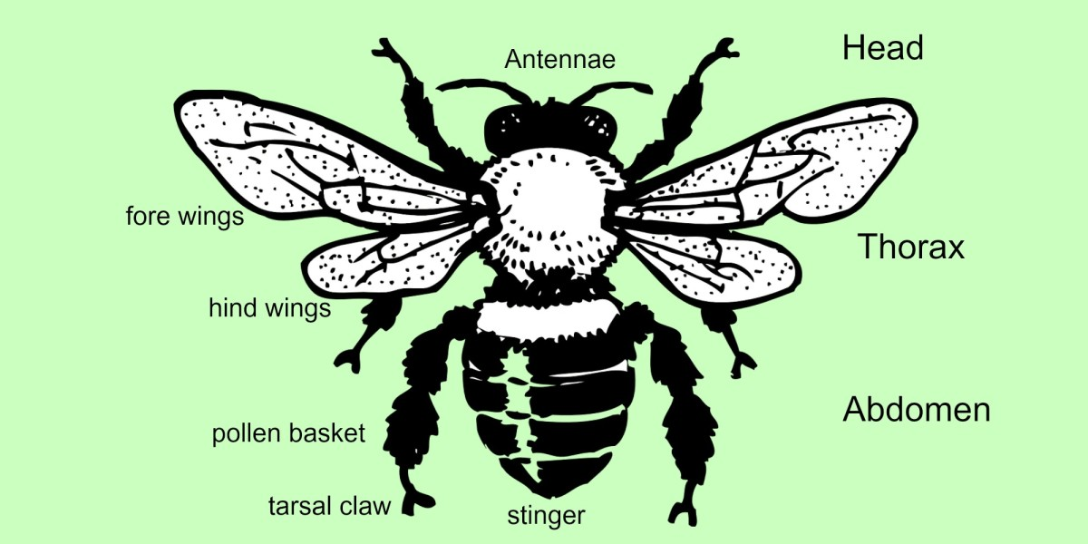 A very simplified diagram of honey bee anatomy.