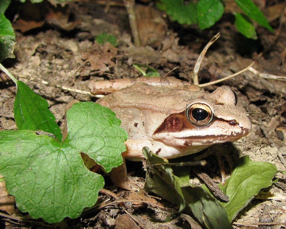 A tan-coloured wood frog