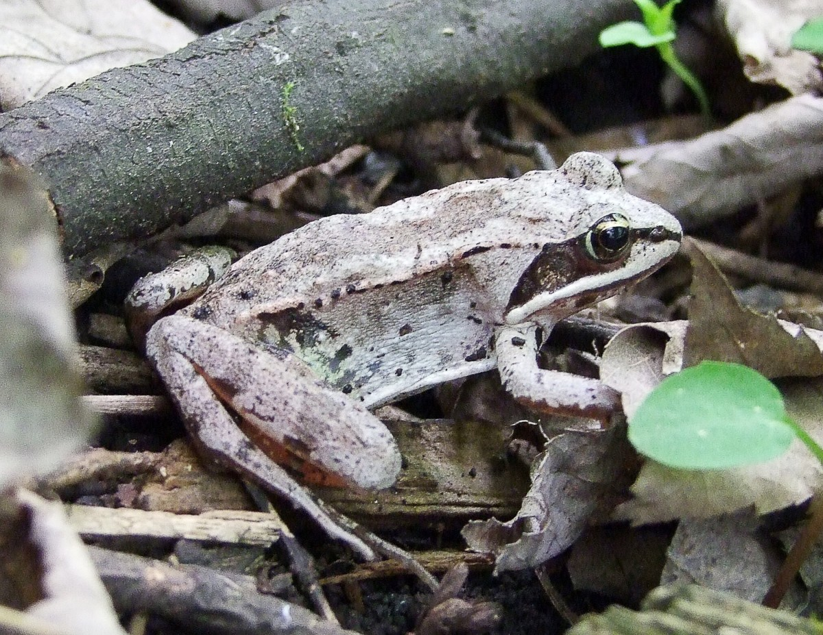 A grey wood frog in Quebec