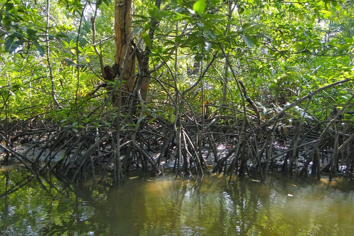 Mangrove in Cambodia.
