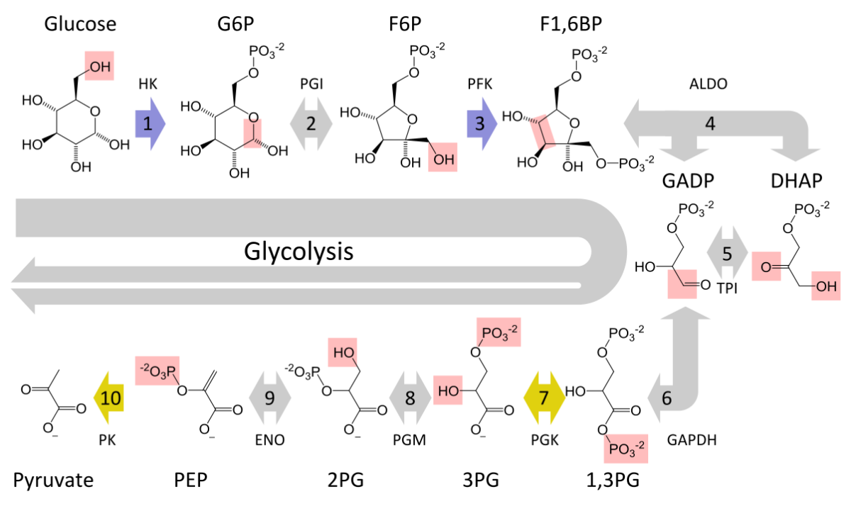 The ten steps in glycolysis