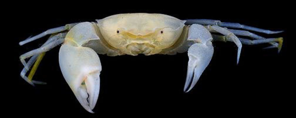 The Harry Potter Crab