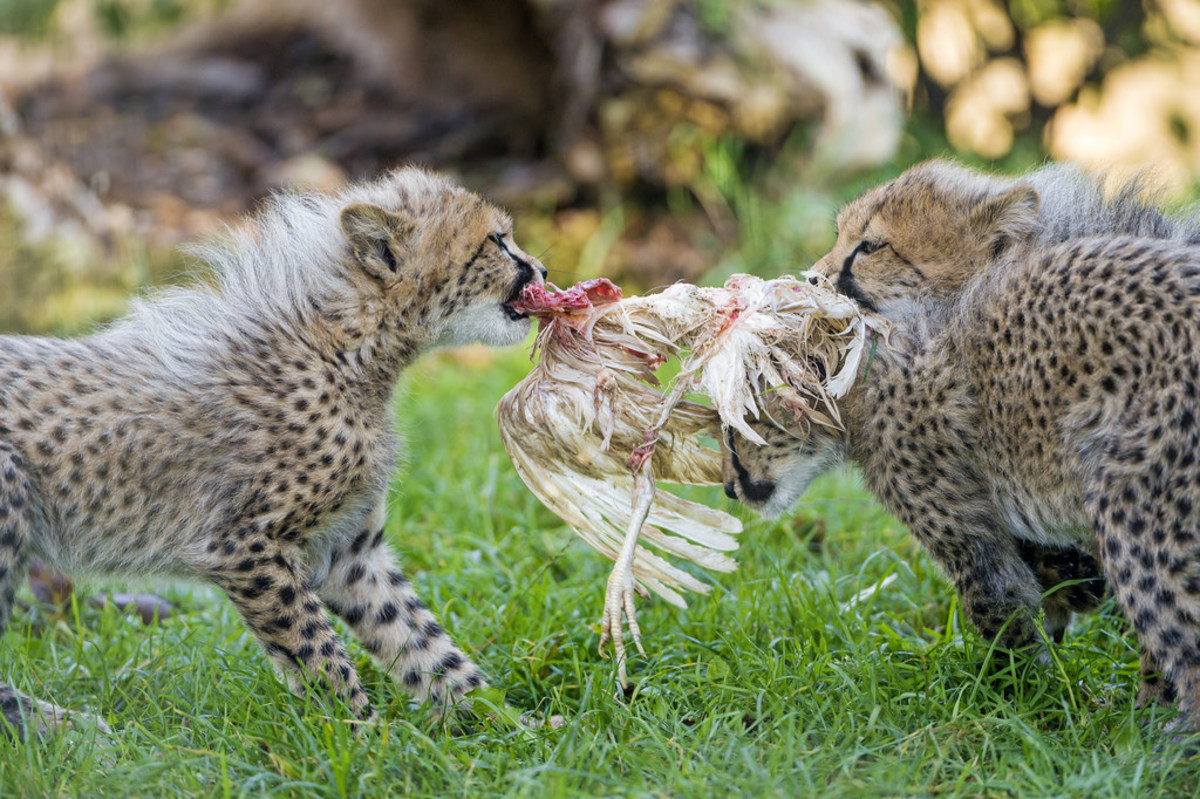 Do Cheetahs Hunt or Kill Humans? | Owlcation