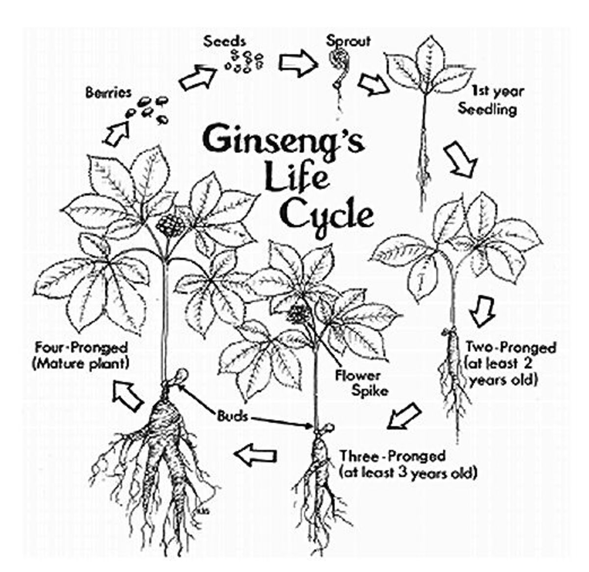 How to Find and Sell American Wild Ginseng | Owlcation