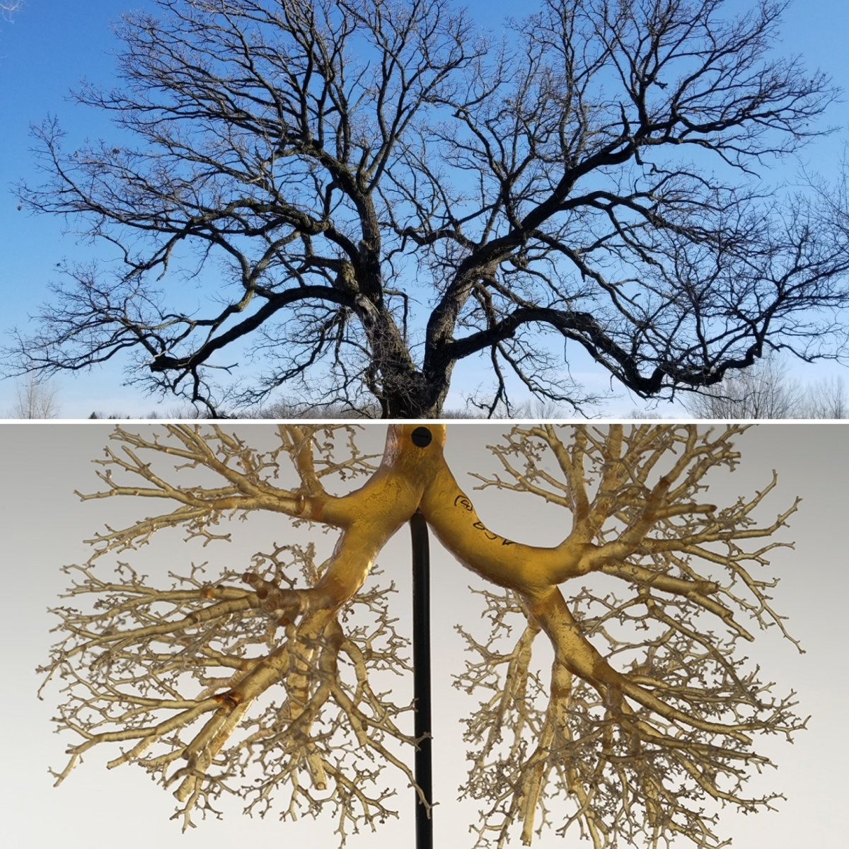 A tree and lung bronchials demonstrating the life giving properties of trees. Trees give off the oxygen that our lungs receive, giving life to our bodies.