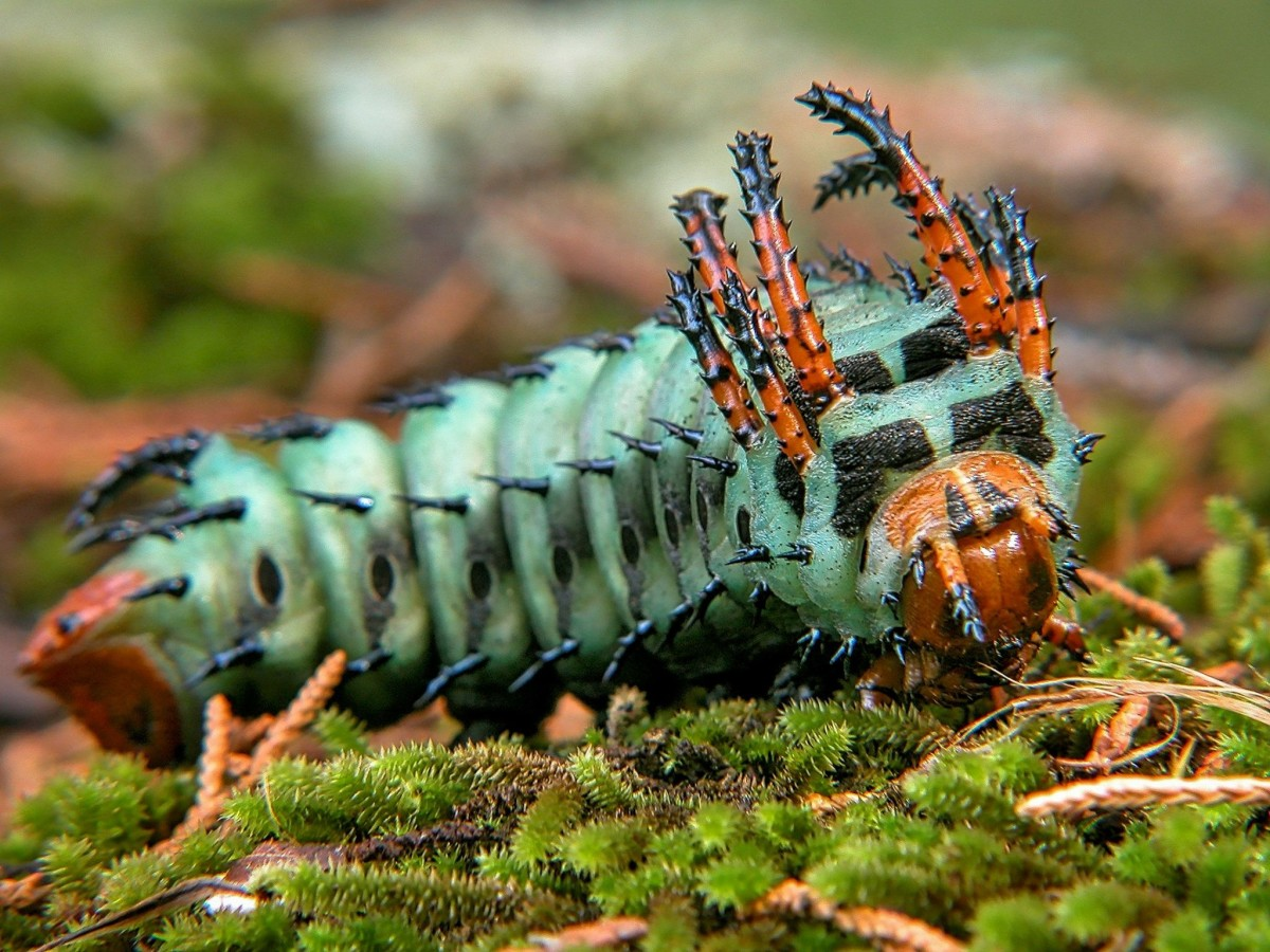 Their large size and fierce look are what keep chickens from eating hickory horned devil caterpillars. Their scary-looking appearance allows them to become beautiful regal moths.