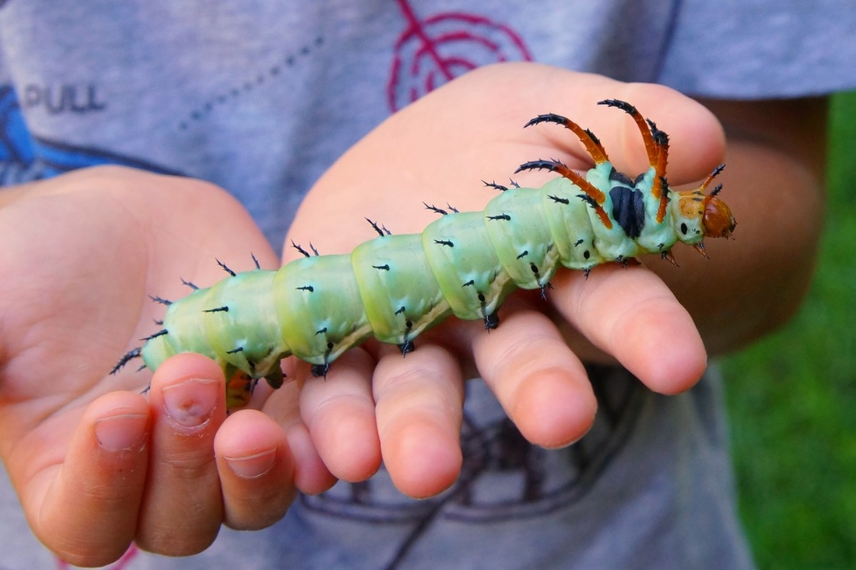 As you can see, a hickory horned devil caterpillar is huge, but it also has predators, which include birds (they are the primary food source for many birds), ladybird beetles, yellow jackets and human beings.